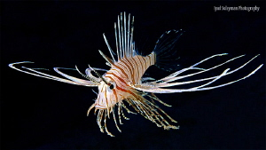 Juvenile lionfish by Iyad Suleyman 